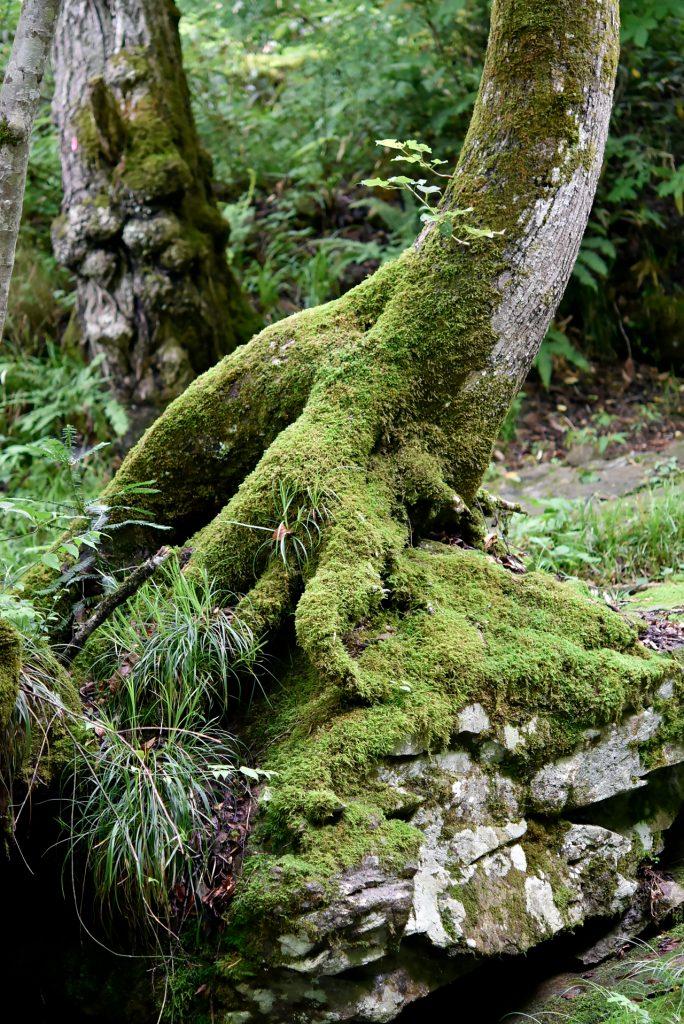 岩に根付く樹木