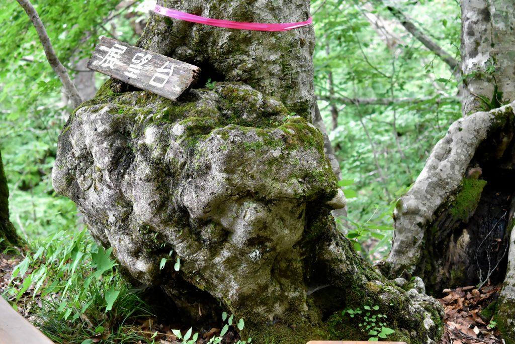 根本がコブになっている不思議な樹木